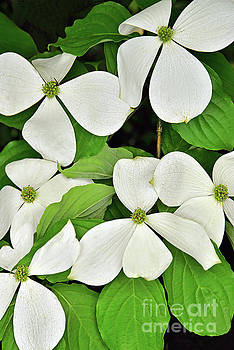 Regina Geoghan - White Dogwood Branches