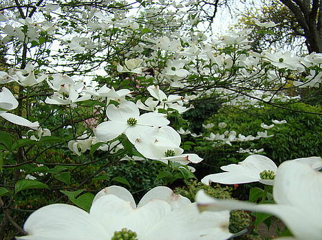 Baslee Troutman - White Dogwood Flowers 6 Dogwood Tree Flowers Art Prints Baslee Troutman