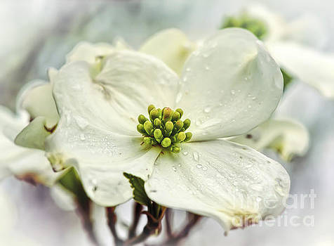 White Dogwood by Kerri Farley