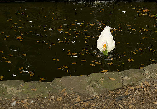 White Duck by Emily Smith