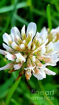 White Dutch Clover by Marlene Williams