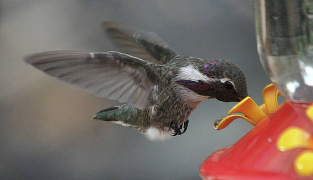 White Eared Male Hummingbird Sipping Nectar by Jay Milo