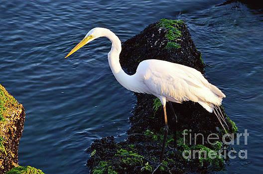 White Egret At Sunrise - Barnegat Bay NJ  by Robyn King