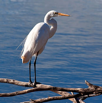 White Egret by Heather Thorning