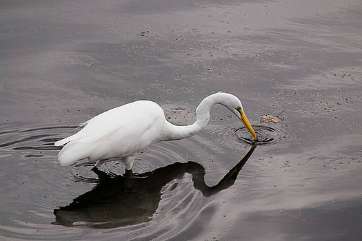 Mike Shaw - White Egret
