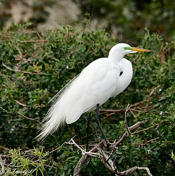 Patricia Twardzik - White Egret Perched in a Tree