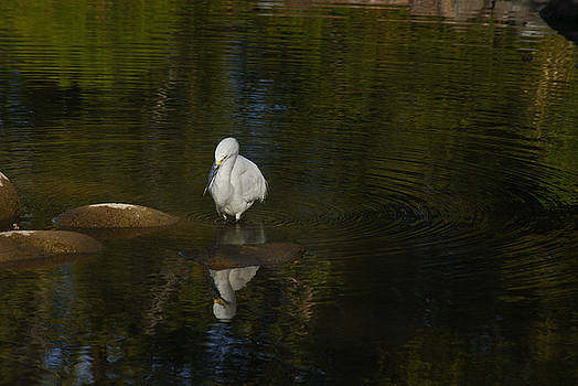 White egret. by Robert Rodda