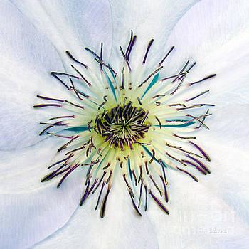 White Expressive Clematis Flower Macro Photo 4922 by Ricardos Creations