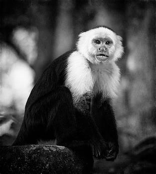 White Faced Capuchin Monkey Costa Rica III BW by Joan Carroll