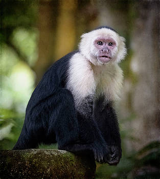 White Faced Capuchin Monkey Costa Rica III by Joan Carroll