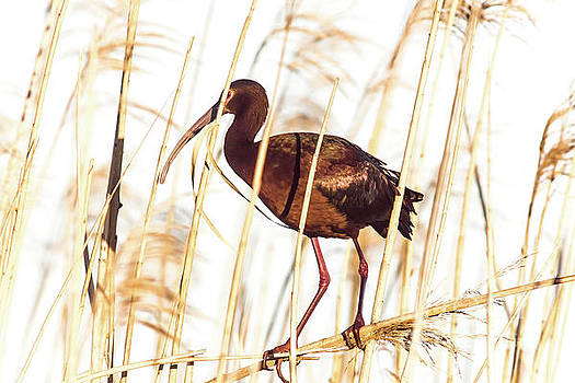 White Faced Ibis In Reeds by Robert Frederick