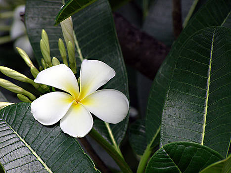 White Fangipani  by Tim Stringer