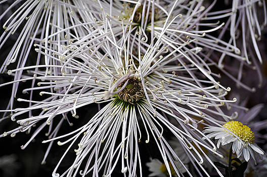 Clayton Bruster - White Flora