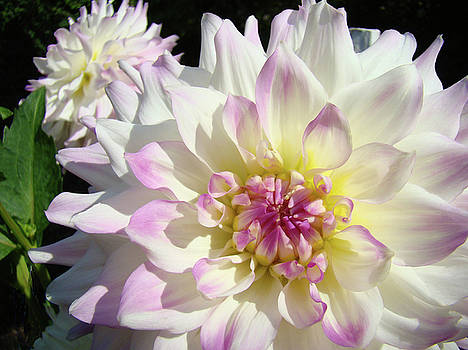 Baslee Troutman - White Floral art Bright Dahlia Flowers Baslee Troutman