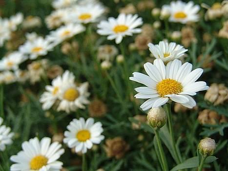 White flower by Jaseena Mohammed