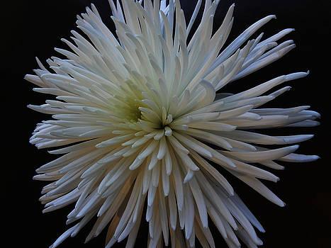 White Flower by Kelly E Schultz