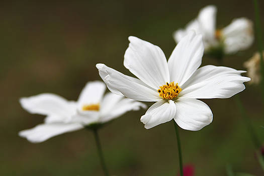 White Flowers by Donna Betancourt