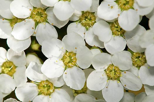 White flowers by Jouko Mikkola