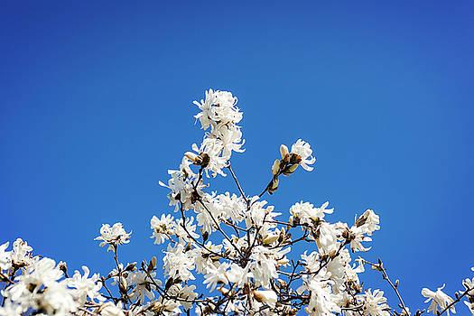 Lorrie Joaus - White Flowers