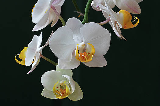 Juergen Roth - White Flowers Orchids