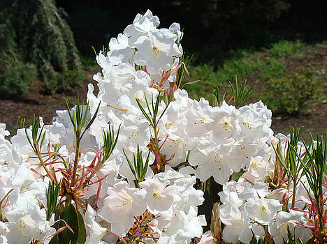 Baslee Troutman - White Flowers Sunlit Rhododendrons Rhodies Baslee Troutman
