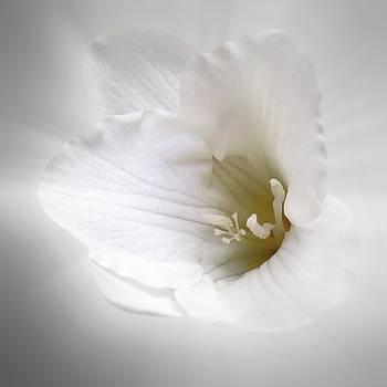 White Freesia by Marinela Feier