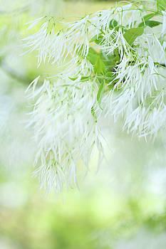 White Fringetree in Springtime by Jenny Rainbow