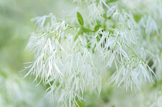 White Fringetree by Jenny Rainbow
