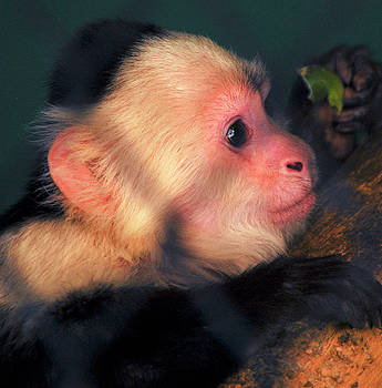 White Fronted Capuchin Monkey by Michelle Halsey
