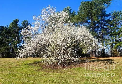 White Fruit Tree in Spring by Janette Boyd
