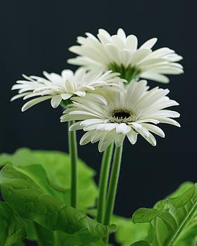 White Gerbers by Nancy Kirkpatrick