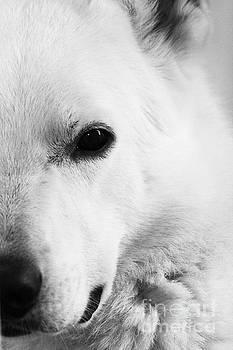 White German Shepherd by Alan Harman