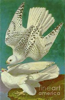 White Gyrfalcons by D Fessenden