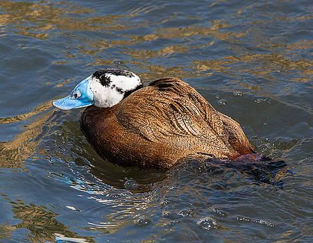 Dee Carpenter - White-Headed Duck Male