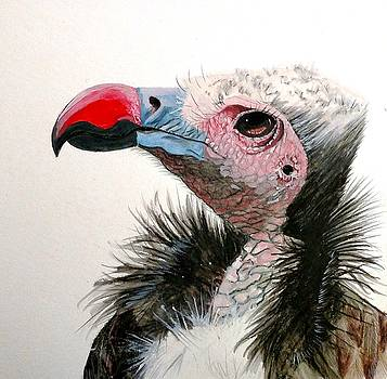 White Headed Vulture by Joan Mansson
