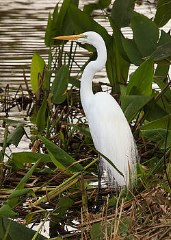 White Heron by Jorge Mejias