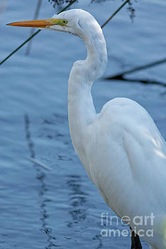 White Heron Profile by Natural Focal Point Photography