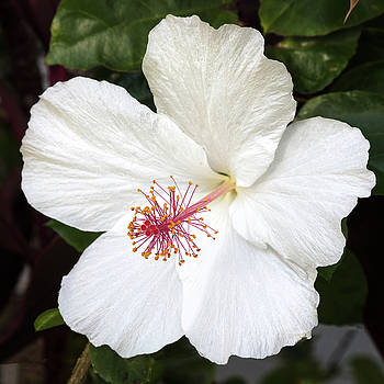 White Hibiscus Flower by Pierre Leclerc Photography