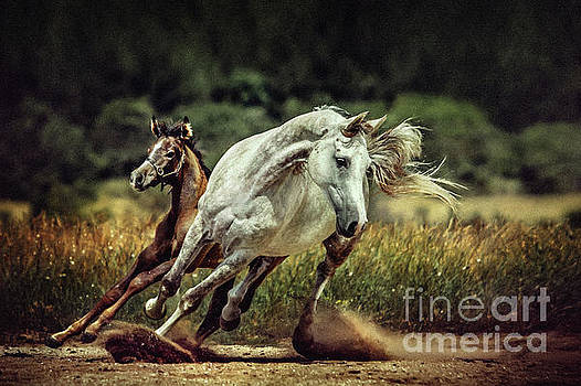 Dimitar Hristov - White horse and foal Running wild