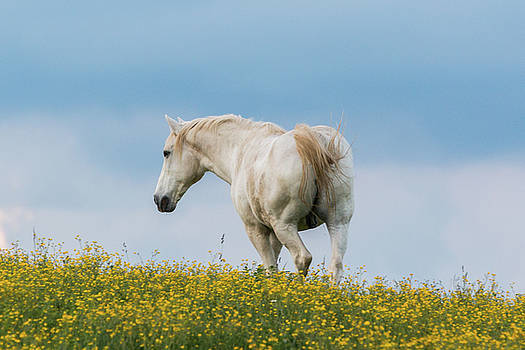 White Horse of Cataloochee Ranch - May 30 2017 by D K Wall