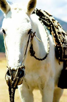 White Horse by Susan Schumann