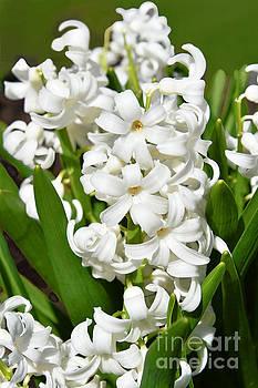 Regina Geoghan - White Hyacinth
