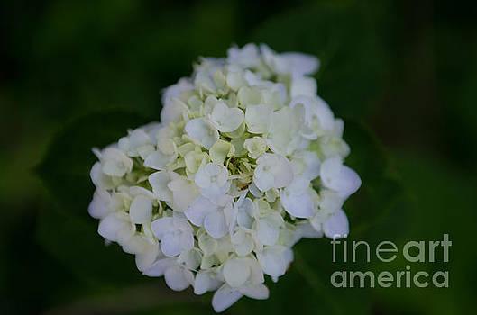 Dale Powell - White Hydrangea Blossom