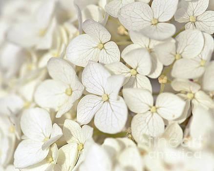 White Hydrangea by Kerri Farley