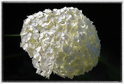 White Hydrangea   by Maria Keady