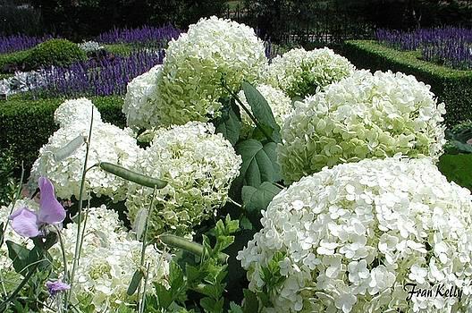Fran Kelly - White Hydrangias