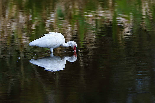 Juergen Roth - White Ibis at Green Cay Wetlands