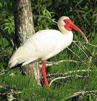White Ibis by John Kearns