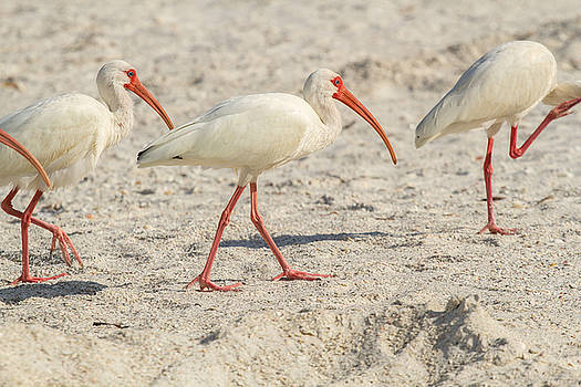 White Ibis on Marco Island by Toni Thomas