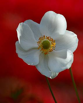 White in Red by Sheila Price